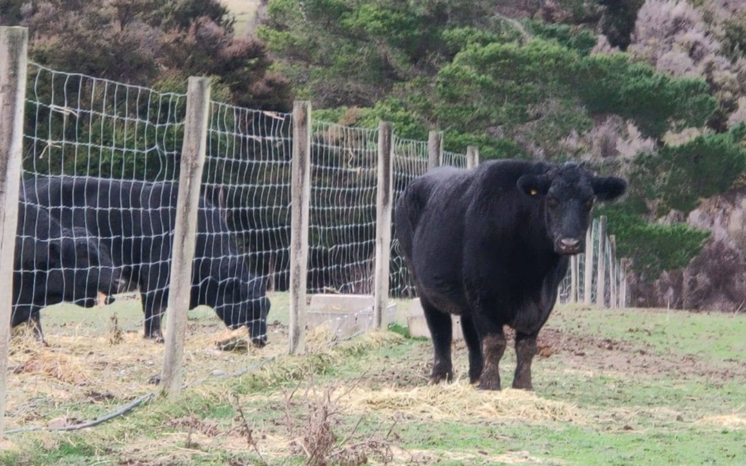 Monster Steer comes back home after 13 years in the back blocks